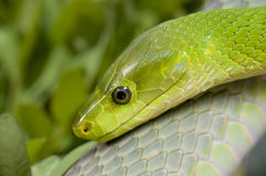 Green mamba. View of green mamba`s head Stock Photo