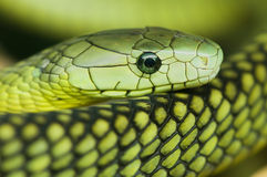 A green mamba. Snake resting his head on his body Stock Images
