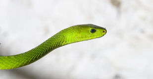 Green Mamba Stock Photography
