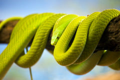 Green Mamba Coiled Up on a Branch Royalty Free Stock Image