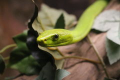 Green mamba. A dangerous snake ready to atack its breakfast Royalty Free Stock Image