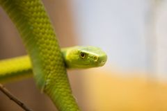 Green Mamba, Dendroaspis Angusticeps Stock Images