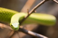 Green Mamba, Dendroaspis Angusticeps stock photo