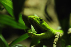 Green Mamba (Dendroaspis angusticeps) Stock Images