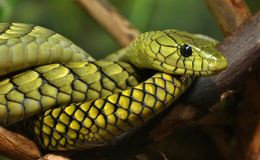 Green Mamba (Dendroaspis angusticeps) Stock Photo