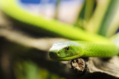Green Mamba Snake Royalty Free Stock Photography