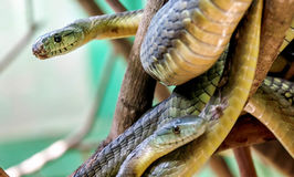 The Green Mamba snake on the tree in Uganda, Africa Stock Images