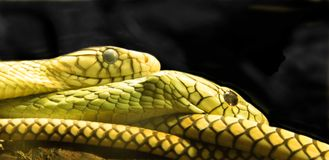 Green mamba. Two green mambas snuggling together Stock Images