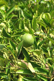 Green mandarin. Mandarin tree with green and unripe fruit Royalty Free Stock Photography