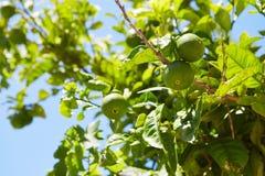Green mandarin fruits Stock Photos