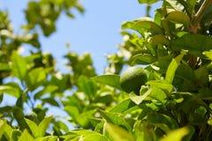 Green mandarin fruits Royalty Free Stock Image