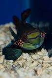 Green Mandarin Royalty Free Stock Images