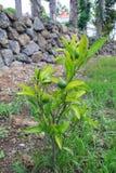 A green mandarin orange royalty free stock image