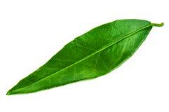 Green mandarin (tangerine) leaf Royalty Free Stock Photo