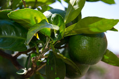 Green mandarin Stock Photo