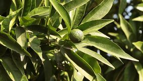Green Mandarin In The Tree. Video clip of branch with young green mandarin orange in the month of August stock video