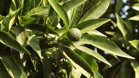 Green Mandarin In The Tree stock video