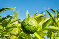 Green mandarine on tree Stock Images