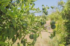 Green mandarins ripen on a branch. Fruit tree Royalty Free Stock Photo
