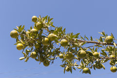 Green mandarins on the tree Royalty Free Stock Photo