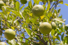 Green mandarins on the tree Stock Photography