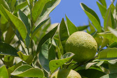 Green mandarins on the tree Royalty Free Stock Image