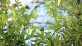 Green mandarins on a tree. Unripe tangerine. Montenegrin mandari. N trees. Home tangerine garden. A lot of fruit on the tree. Not yet ripe stock footage