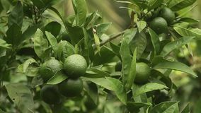 Green mandarins on a tree. Unripe tangerine. Montenegrin mandari. N trees. Home tangerine garden. A lot of fruit on the tree. Not yet ripe stock video footage