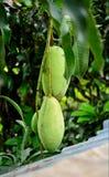 green mango Arkivfoton