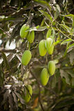 Green Mango Royalty Free Stock Photo