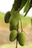 green mango Royaltyfria Bilder