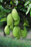 Green mango fruits on the tree in Kep town, Cambodia Stock Photo