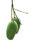 2 green mango. Hang on the branch Stock Photo