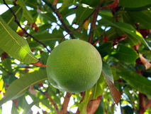 Green mango hangs from tree Stock Photo