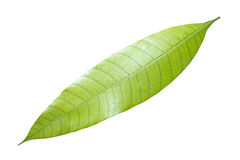 Green mango leaf isolated on white. With clipping path royalty free stock photos