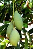 Green Mango Mangifera indica. Closeup view of Green Mangifera indica Mango in the Tree in Organic field stock image