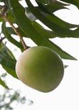 Green mango tree Stock Photo