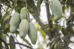 Green Mango on the tree Royalty Free Stock Images