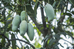 Green Mango on the tree Stock Photo