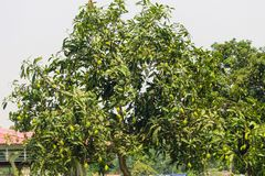 A green mango tree with mango. The Beautiful A green mango tree with mango, Nature s background stock image