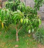 Green mango tree and the fruits - organic plantation - growing the Mangifera indica tree. S stock photos