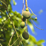 Green mango on tree in garden. Royalty Free Stock Images