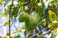 Green mango on tree in garden. Royalty Free Stock Photos