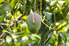 Green mango on tree in garden. Stock Photo