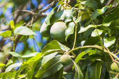 Green mango on tree in garden. Stock Images