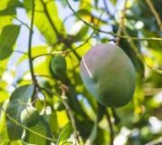 Green mango on tree in garden. Stock Photos