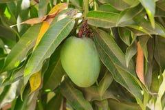 Green mango on tree in garden Stock Image