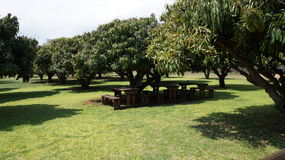 Green mango trees and under them wooden benches and a table, South Africa. Green mango trees and under them wooden benches and a table,  Johannesburg, South Stock Photography