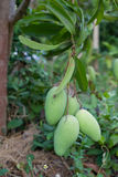 Green mangoes. Bunch of green mangoes on tree Stock Photo