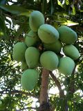 Green mangoes Royalty Free Stock Image
